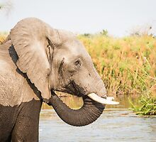 African Bush Elephant Feeding In River by Graham Prentice