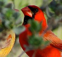 Northern Cardinal by gcampbell