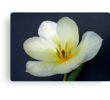 Full Open White Tulip Canvas Print