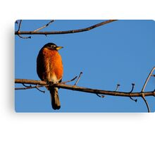 Robin in Warm Morning Light Canvas Print