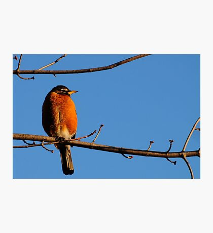 Robin in Warm Morning Light Photographic Print