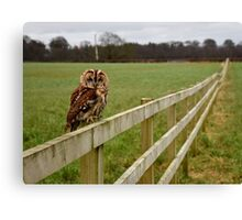 Tawny Owl at rest. Canvas Print