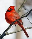 Cardinal Looks Your Way by Kenneth Keifer