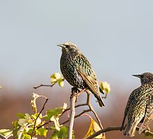Starlings  by M.S. Photography/Art