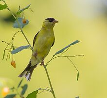 Yellow bird in a yellow world by dafou