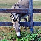 Typical Country Donkey by Eileen Brymer
