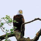 AMERICAN BALD EAGLE by RoseMarie747