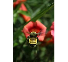 Trumpet Bumble Photographic Print