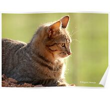SUNRISE PROFILE CAPTURE - The African Wild Cat - Felis silvestris lybica Poster