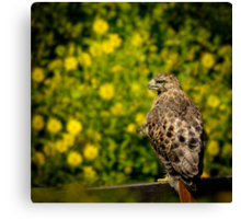 Hawk in sunflowers Canvas Print