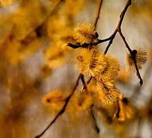 Catkins  by Andrew  Hunter