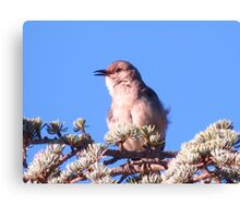 Mockingbird in a fir tree Canvas Print
