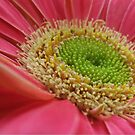 gerber daisy close up by ANNABEL   S. ALENTON