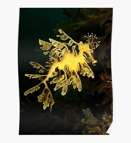 Leafy Seadragon from Rapid Bay Jetty Poster
