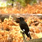 Pied Currawong by Toradellin