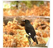 Pied Currawong Poster