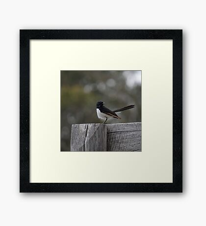 Willy Wagtail Framed Print