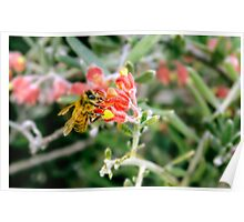 Closeup of a furry bee on a vibrant coloured native plant Poster