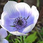 Anenome by kalaryder