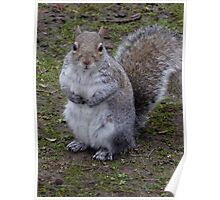 fluffy squirrel Poster