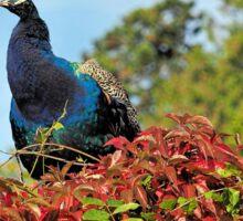 Peacock Amidst Autumn Colours Sticker
