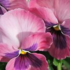 Pansies Macro by Marilyn Harris