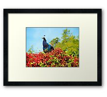 Peacock Amidst Autumn Colours - Impressions Framed Print