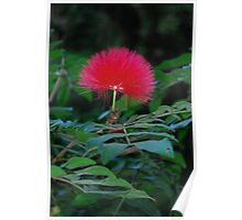Red puffy flower in Hawaii Poster