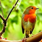 Alert Robin  by Barnbk02
