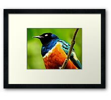 Superb Starling from Below Framed Print