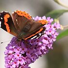 Red Admiral Butterfly, ( Vanessa Alanta ) Northern England by Ian Alex Blease