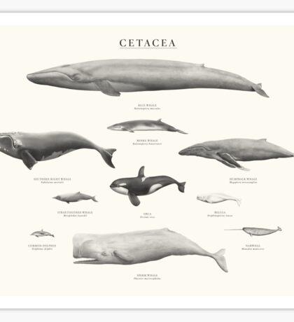 Cetacea Sticker