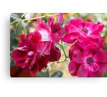 roses in spring Canvas Print
