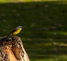 Eastern Yellow Robin by SusanAdey