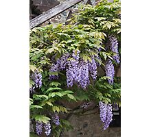 wisteria in spring Photographic Print