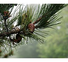Pine Cones and Dew Photographic Print