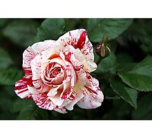 Peppermint Rose ~ Sweet and Spicy  Photographic Print