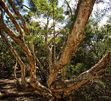 Interesting tree branches in the National Botanic Garden in Canberra/ACT/Australia by Wolf Sverak