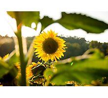 Sunflowers 2 Photographic Print