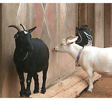 Goats! Photographic Print