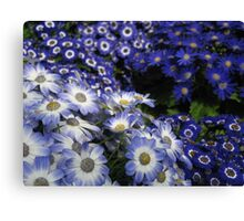 Daisies in Melbourne Canvas Print