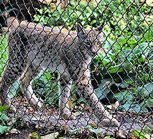Eurasian Lynx - Endangered Beauty by Susie Peek