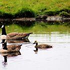 Gliding geese by missmoneypenny