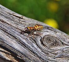 Kings Park Insect by lezvee