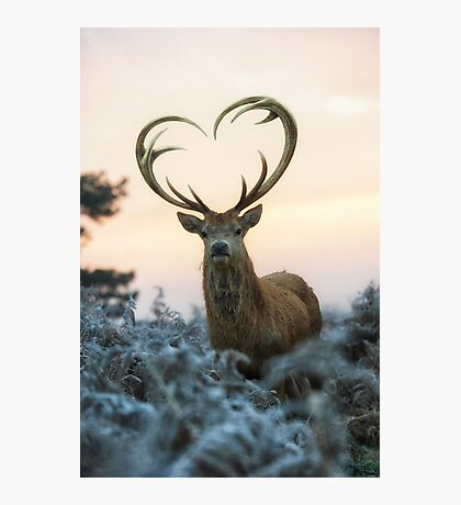 Stag With the Heart Shaped Antlers (love you deer) Photographic Print