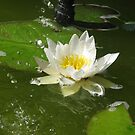 Waterlily in a shower. by aila