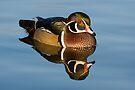 Wood Duck in calm water by Eivor Kuchta