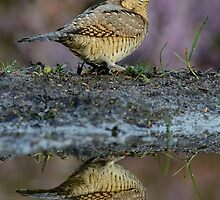 Wryneck (Jynx torquilla Linnaeus) - I by Peter Wiggerman