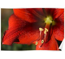 red flower blooming Hippeastrum Poster