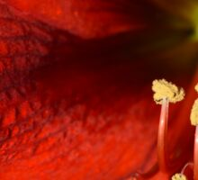 red flower blooming Hippeastrum Sticker